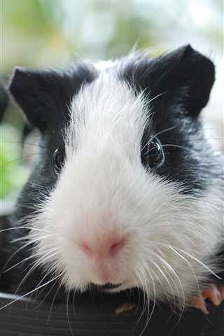 iPhone Wallpaper Guinea pig, cup