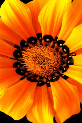 iPhone Wallpaper Orange flower macro photography, petals, black background