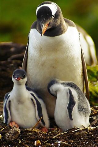 iPhone Papéis de Parede Família de pinguins, vida selvagem