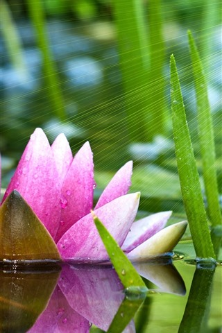 iPhone Wallpaper Pink water lily, pond, green leaves, sun rays
