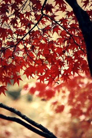 iPhone Wallpaper Red maple leaves, trees, autumn, hazy