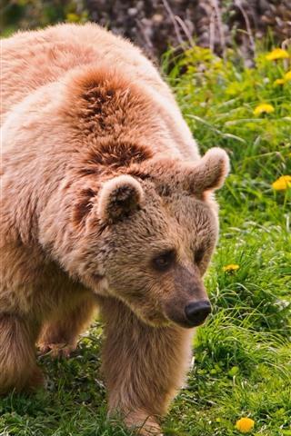 iPhone Wallpaper Two brown bears, walk, green grass, flowers