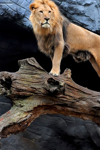 iPhone Wallpaper Two lions, wood, look