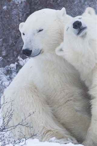 iPhone Wallpaper Two polar bears, play, snow