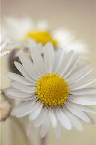 iPhone Wallpaper White daisy, petals, hazy background