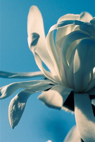 iPhone Wallpaper White petals flower macro photography, blue background