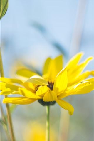 iPhone Wallpaper Yellow flower close-up, petals, hazy background