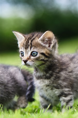 iPhone Wallpaper Cute two kittens, walk on grass