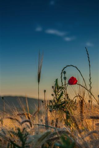 iPhone Wallpaper Grass, red flower, sky, summer