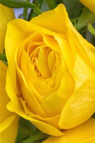 iPhone Papéis de Parede Algumas rosas amarelas, close-up da flor