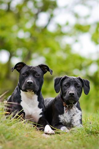 iPhone Обои Две черные собаки, зеленая трава
