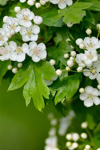 iPhone Wallpaper White hawthorn flowers flowering, green leaves, spring