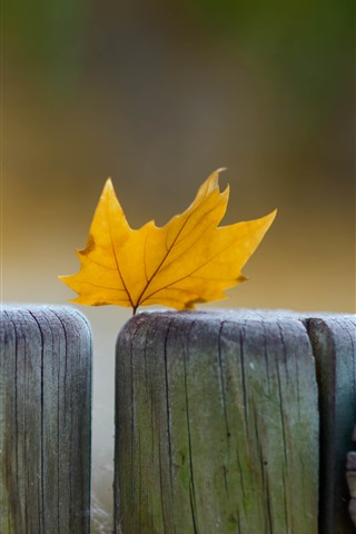 iPhone Wallpaper Yellow maple leaf, wood fence