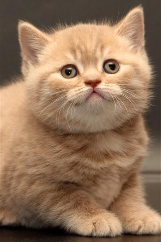 iPhone Papéis de Parede Shorthair britânico, gatinho peludo, animal de estimação fofo