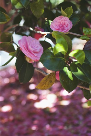 iPhone Wallpaper Pink camellia, flowers, green leaves, spring