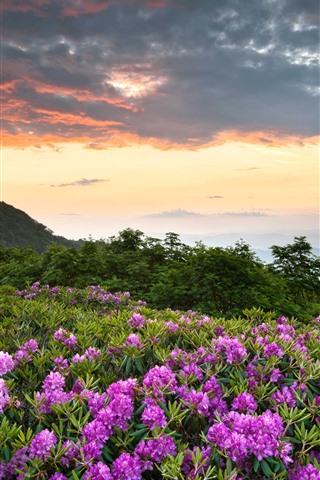 iPhone Обои Национальный парк Шенандоа, розовые цветы, горы, рододендрон
