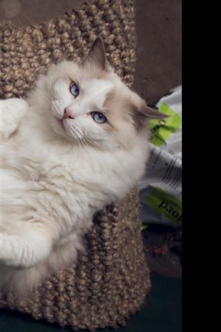iPhone Wallpaper Furry cat, look