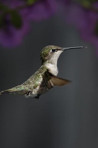 iPhone Fond d'écran Colibri, voler, ailes, bec, focus, fleurs