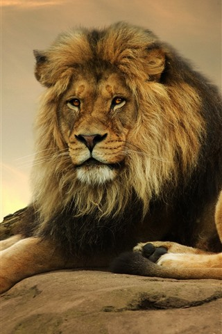 iPhone Wallpaper Lion, rest, look, tail, stone