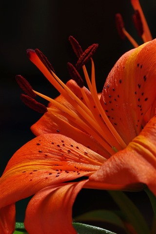 iPhone Wallpaper Orange lily, petals, flower, black background