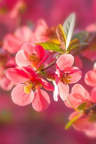 iPhone Wallpaper Red plum flowers flowering, twigs, leaves, spring