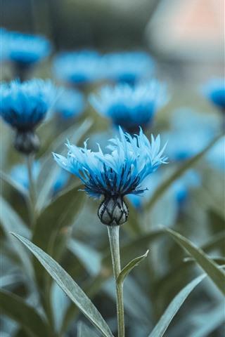 iPhone Papéis de Parede Algumas flores azuis, caule, folhas