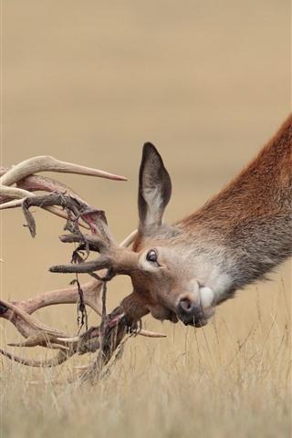 iPhone Обои Два оленя, борьба, рога, дикая природа