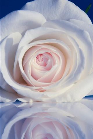 iPhoneの壁紙 白いバラ、花びら、青い背景