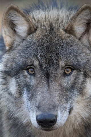 iPhone Wallpaper Wolf, face, look, eyes