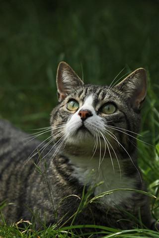 iPhone Wallpaper Cat look up, grass
