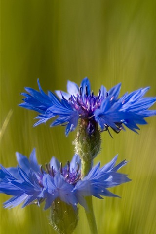 iPhone Обои Васильки, синие цветы, зеленая трава
