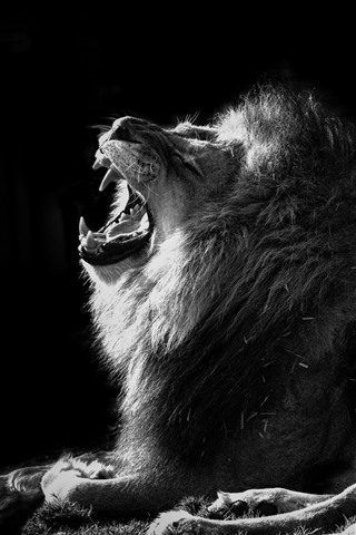 iPhone Wallpaper Lion, yawn, black and white picture