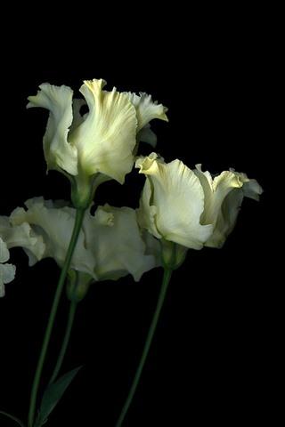 iPhoneの壁紙 いくつかの白いチューリップ、花、黒の背景
