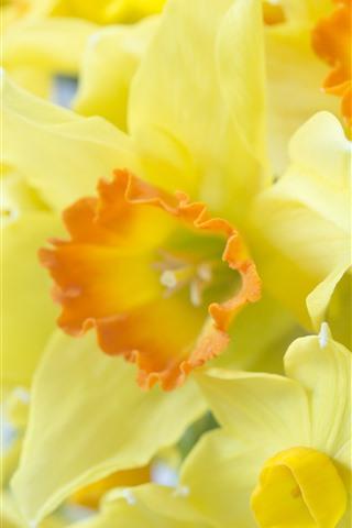 iPhone Обои Некоторые желтые нарциссы, цветы крупным планом, лепестки
