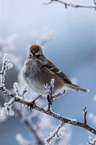 iPhone Wallpaper Sparrow, bird, twigs, snow, winter