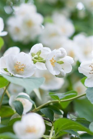 iPhone Обои Белые цветы жасмина, лепестки, весна