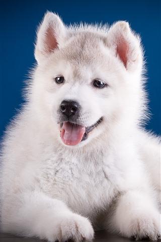 iPhone Wallpaper Cute white puppy, Husky dog