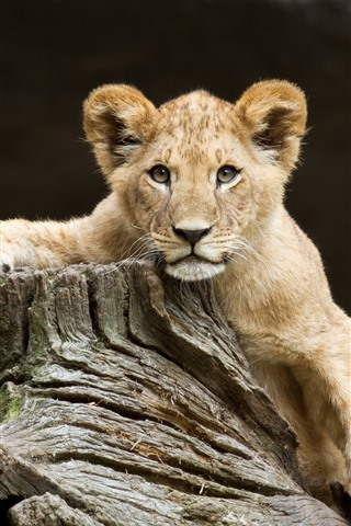 iPhone Wallpaper Lion cub, look, wood