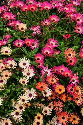 iPhone Wallpaper Many pink flowers, water droplets, garden