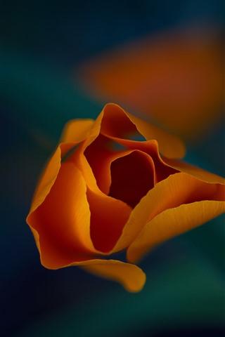 iPhone Wallpaper Orange flower macro photography, petals, leaf, hazy background