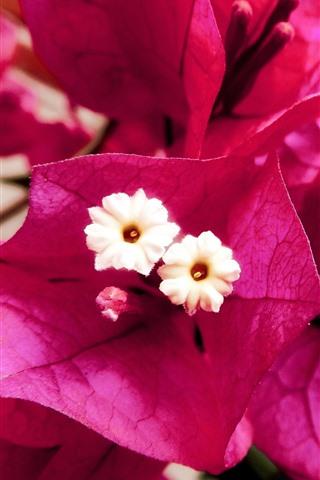 iPhone Wallpaper Pink bougainvillea flowers close-up, petals, pistil