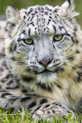 iPhone Wallpaper Snow leopard, rest, front view, look, eyes, grass