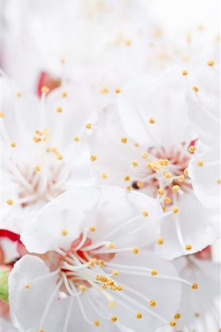 iPhone Wallpaper White apple flowers, petals, pistil, hazy, spring