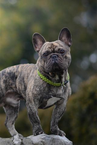 iPhone Wallpaper French bulldog, dog, gray, stone