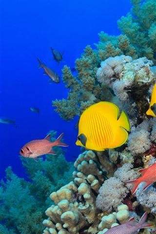 iPhone Wallpaper Some fish, sea, corals, underwater