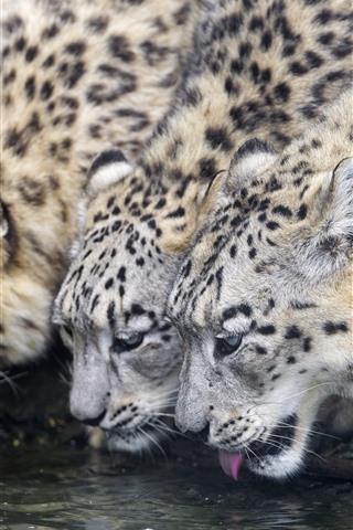 iPhone Papéis de Parede Três leopardos de neve bebem água