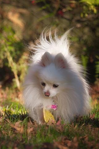 iPhone Wallpaper White dog, pomeranian, grass, autumn