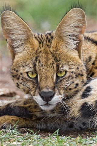 iPhone Wallpaper Lynx, wildcat, rest, look, eyes, ears, face