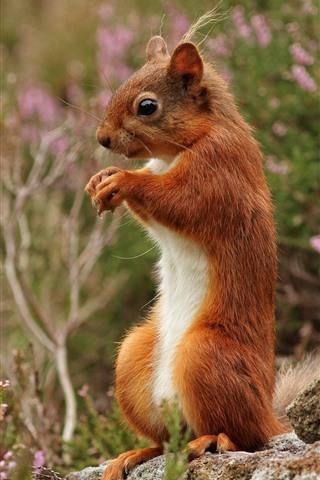 iPhone Wallpaper Squirrel, wildflowers, stone