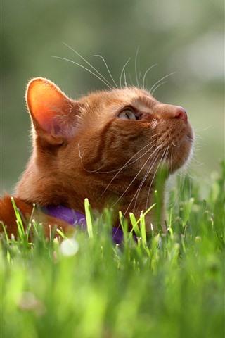 iPhone Wallpaper Cat, tomcat, look up, face, grass